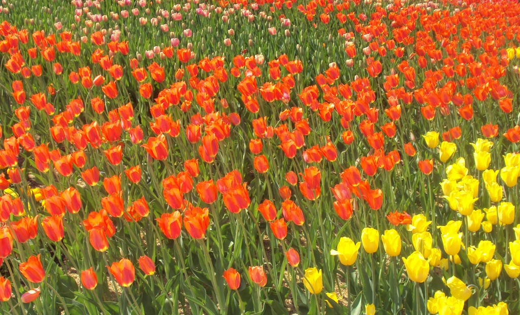 тюльпановый холм