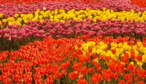 Выставка тюльпанов в Киеве