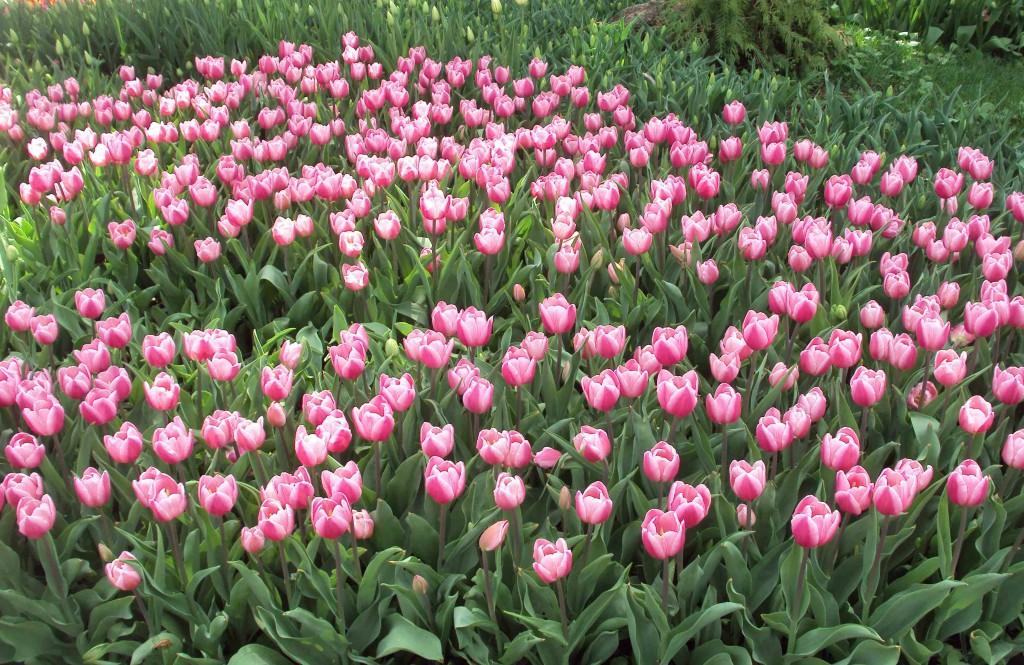 тюльпаны в киеве