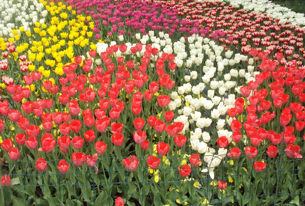 киевские тюльпаны