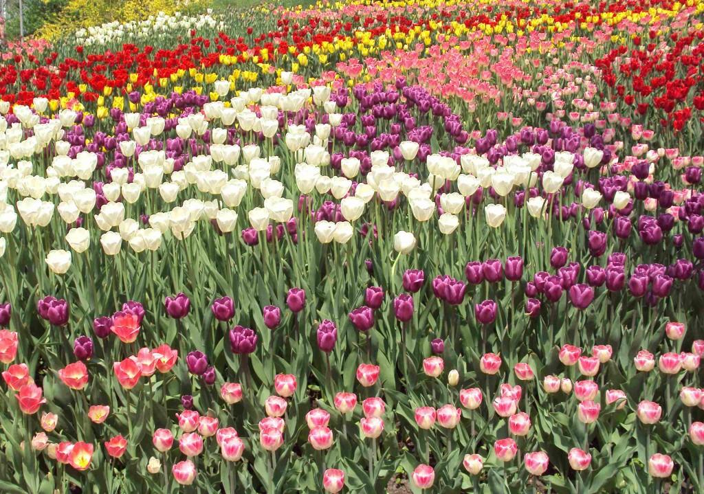 тюльпаны на спивочьем поле